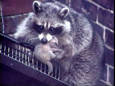 raccoon_with_baby