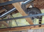 raccoon_in_attic