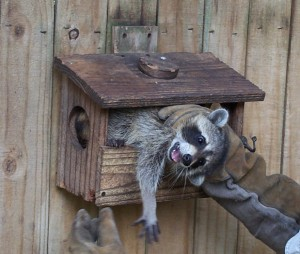 Raccoon caught raiding a bird feeder. Raccoon Trapping candidate.
