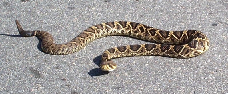 Getting A Florida Drivers License >> Florida has 40 different types of snakes