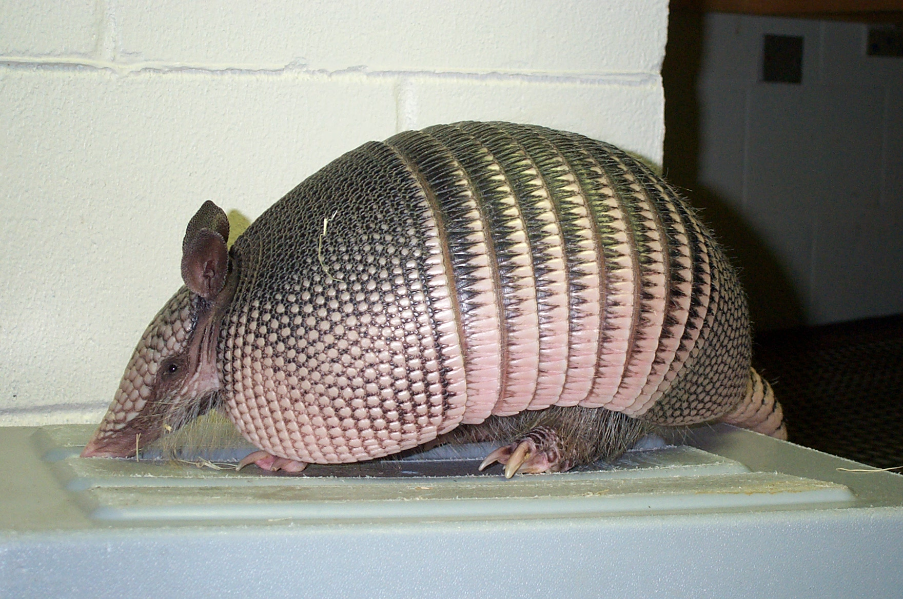 Armadillo Removal - Armadillo Trapping - Animal Capture of ...
