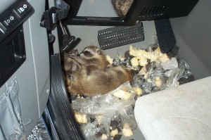 Mother and babies in a Hummer. Raccoon Trapping Raccoon Removal Candidate