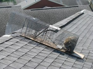 Raccoon Trapped on Roof in Clearwater